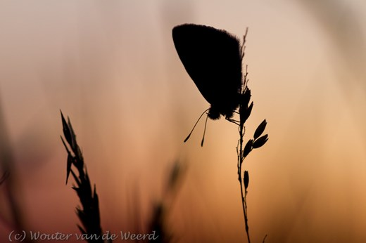 2012-08-09 - Icarusblauwtje in silhouet<br/>Park Vliegbasis Soesterberg - Soesterberg - Nederland<br/>Canon EOS 7D - 100 mm - f/4.0, 1/80 sec, ISO 400